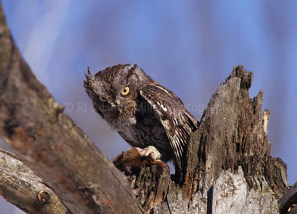 BIooo305 Gray Phase E  Screech Owl