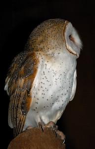 Barn Owl, Australian Masked Owl, Tyto alba. Territory Wildlife Park, NT, Australia. August 2007