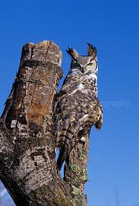 BI000416 raptor - Great Horned Owl