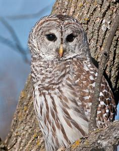 Barred Owl, Squaw Creek National Wildlife Refuge, MO