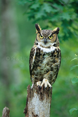 BI040398 raptor - Great Horned Owl