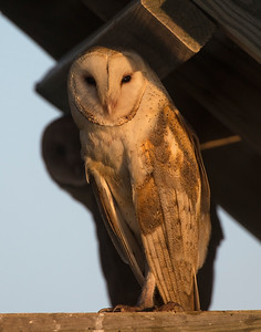 Barn Owl, Hackberry Flats Wildlife Management Area, OK