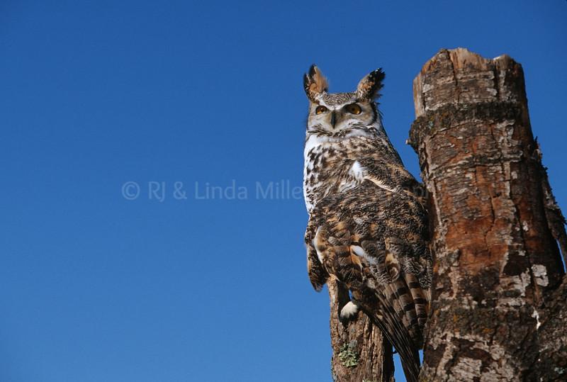 BI000427 Great Horned Owl