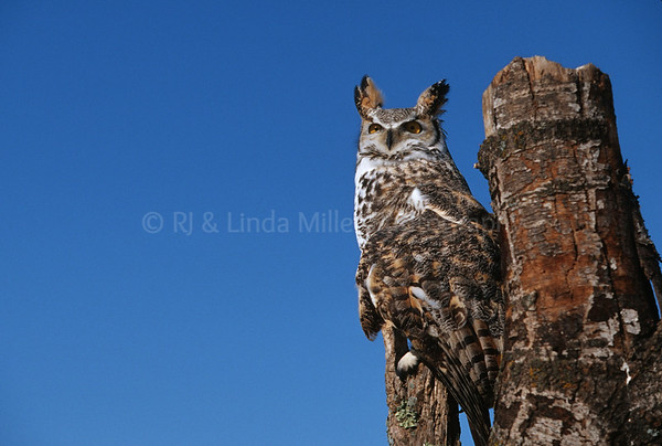BI000427 Great Horned Owl