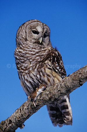 BI000329-01 - North America - Barred Owl Mouse
