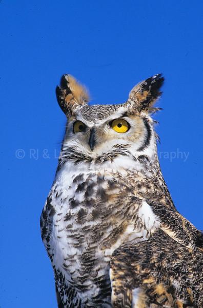 BI000322 raptor - Great Horned Owl