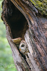 Barred Owl in Nesting Cavity