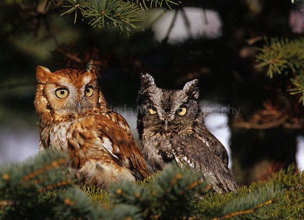 BI000319 Red & Gray E  Screech Owls