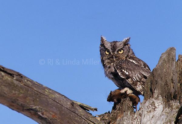 BI000256 Gray Phase E  Screech Owl