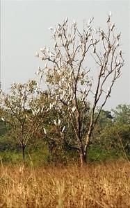 Cacatua Sulphurea, Yellow-crested Cockatoo. Kakadu National Park, NT, Australia. May 2008