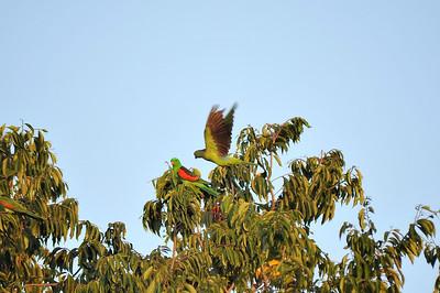 Aprosmictus erythropterus, Red-winged Parrot