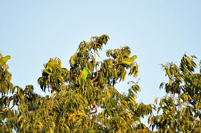 Aprosmictus erythropterus, Red-winged Parrot