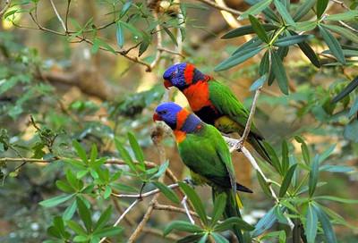 Trichoglossus haematodus, Rainbow Lorikeet. Territory Wildlife Park, NT, Australia. August 2007