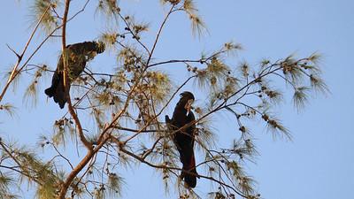 Calyptorhynchus banksii, Black Cockatoo, Red-tailed Cockatoo. Fannie Bay, NT, Australia. January 2016