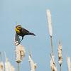 Yellow-headed Blackbird -- Female