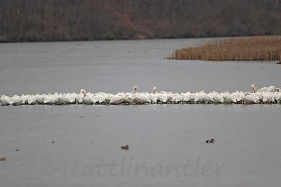 American White Pelicans