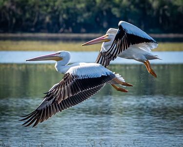 White pelicans, Florida