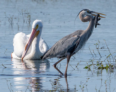 Admiring the heron's lunch