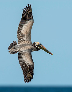 Brown Pelican, Bolivar Peninsula, TX