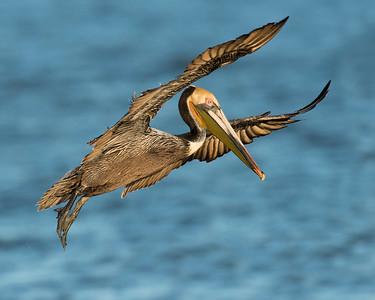 Brown Pelican, Bolivar Peninsula, TX