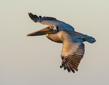 Brown Pelican, High Island, TX