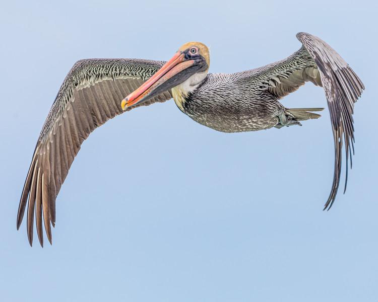 Pelican, Florida