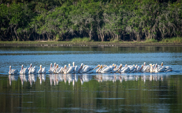 White pelicans, rounding up fish requires teamwork, Florida