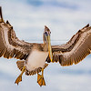 Brown Pelican Landing with Wings Wide Open