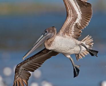 Brown Pelican, Bollivar Penninsula, TX