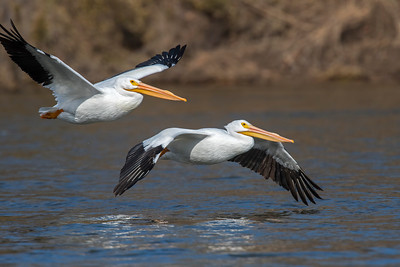 White Pelican, Grand Lake, OK