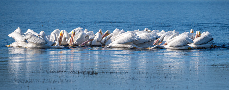 White pelicans, Florida
