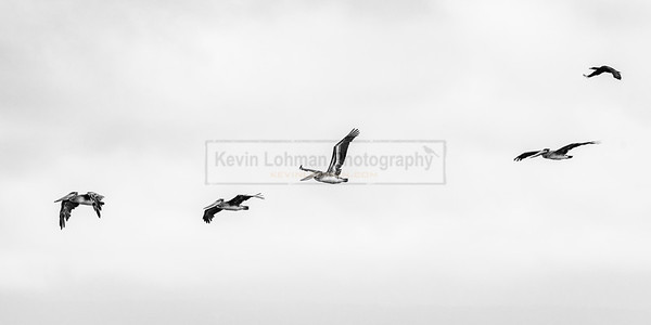 Four Pelicans and a Cormorant