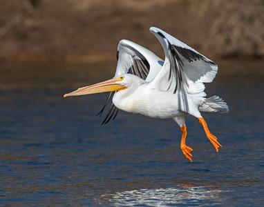 White Pelican, Grand Lake, OK