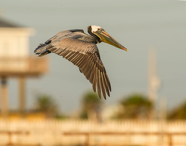 Brown Pelican, High Island, TX