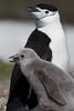 Pingüinos de Barbijo