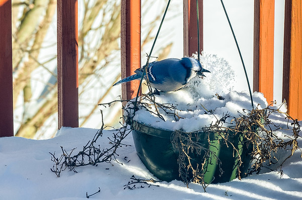 Blue Jay Clearing The Snow