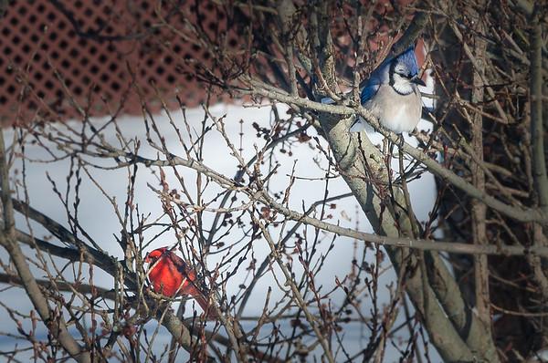 Jay and Cardinal