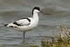 Pied Avocet- Avoceta (Recurvirostra avosetta)