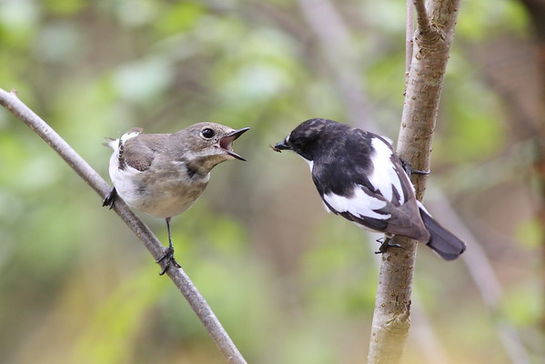 Pied Flycatchers