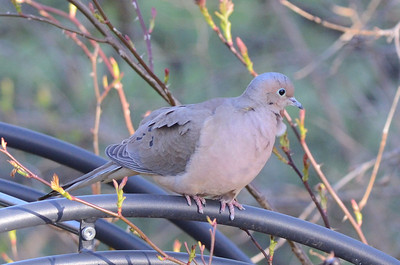 Mourning Dove (at home)