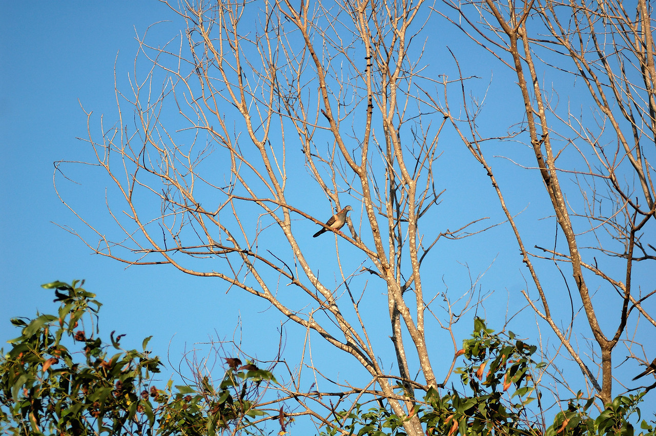 Geopelia humeralis, Bar-shouldered Dove, Mangrove Dove, Scrub Dove, Kookawook. Fogg Dam Conservation Reserve, NT, Australia. September 2009