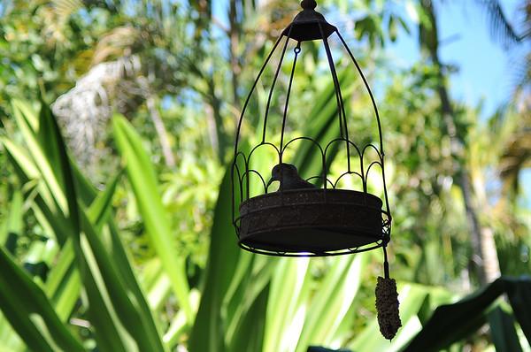 Geopelia humeralis, Bar-shouldered Dove, Mangrove Dove, Scrub Dove, Kookawook