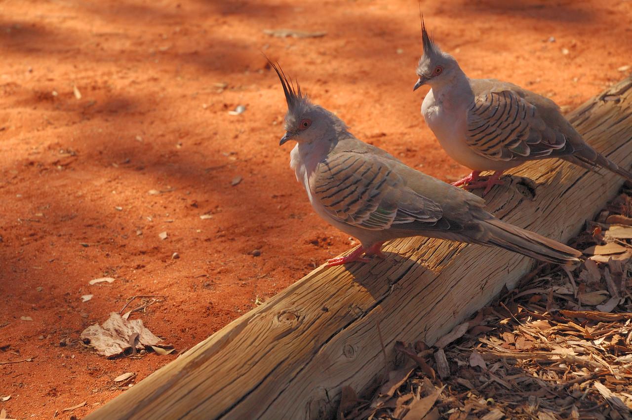 Ocyphaps lophotes. Yulara (Ayers Rock), NT, Australia. December 2006