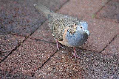 Geopelia humeralis, Bar-shouldered Dove