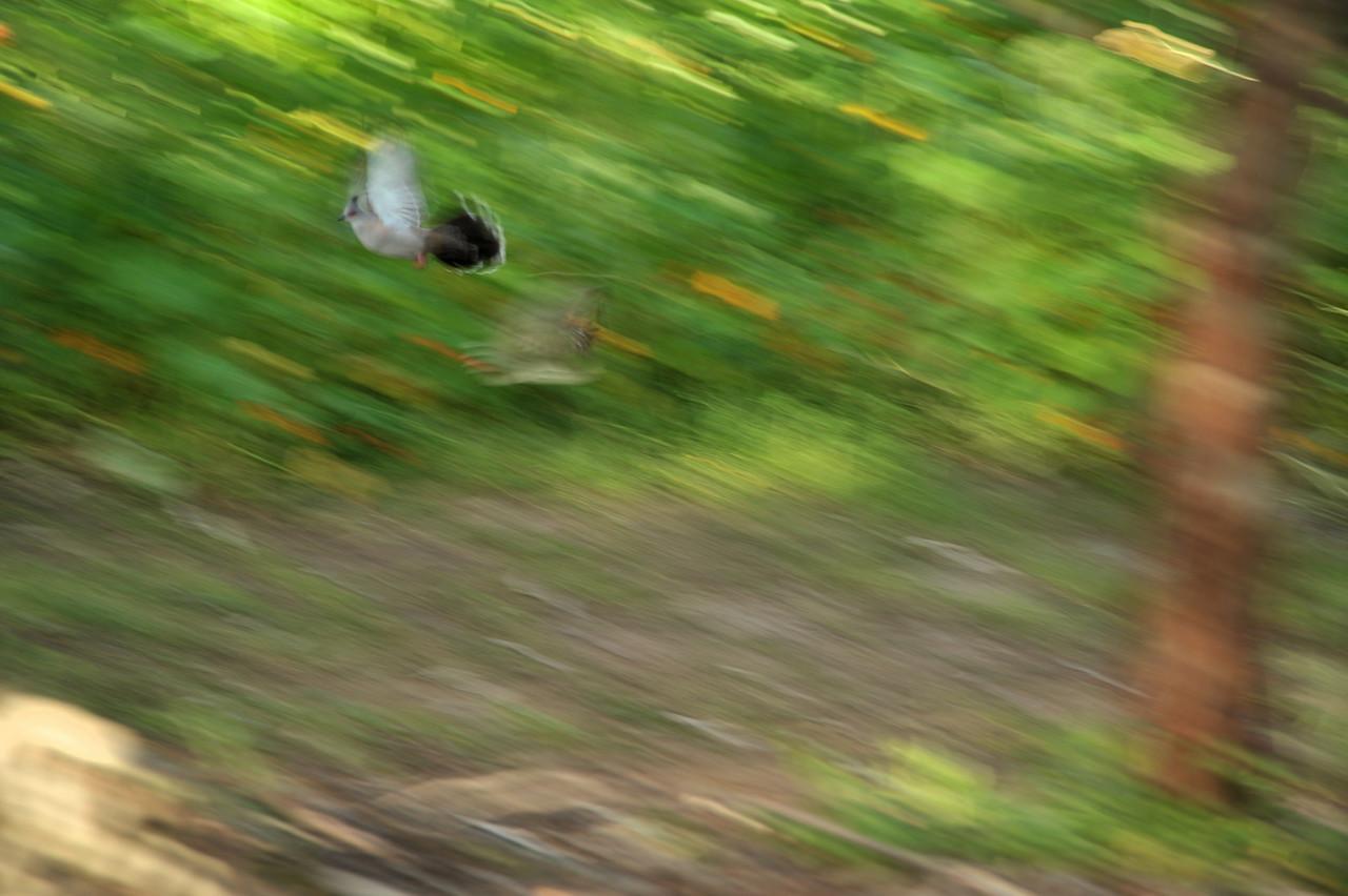 Geopelia humeralis, Bar-shouldered Dove, Mangrove Dove, Scrub Dove, Kookawook. Rapid Creek, Darwin, NT, Australia. May 2010