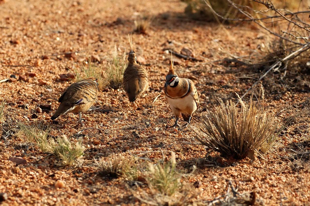 Geophaps plumifera, Spinifex pigeon. Karlu Karlu, Devils Marbles Conservation Reserve, NT, Australia. November 2008