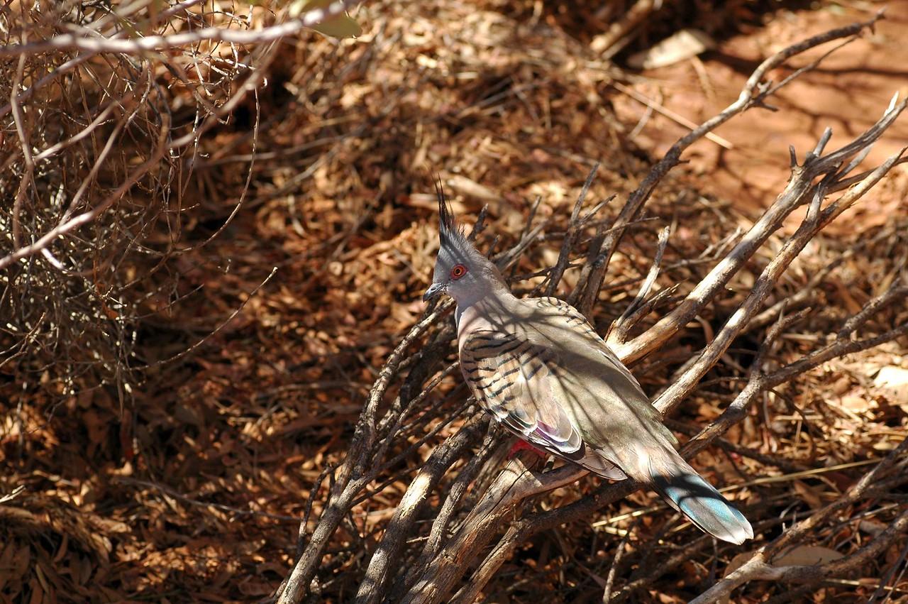 Ocyphaps lophotes. Alice Springs Desert Park, NT, Australia. November 2008