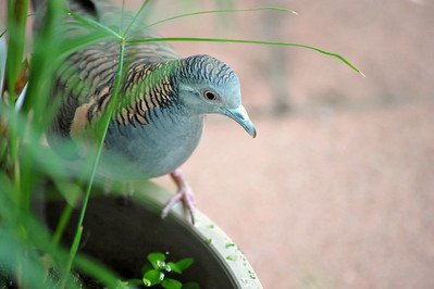 Geopelia humeralis, Bar-shouldered Dove, Mangrove Dove, Scrub Dove, Kookawook