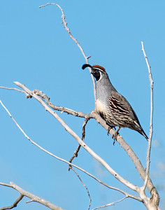 Gambel's Quail (male), Road Runner, Bosque Del Apache National Wildlife Refuge, NM