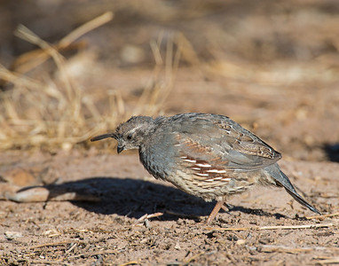 Gambel's Quail, Bosque Del Apache National Wildlife Refuge, NM